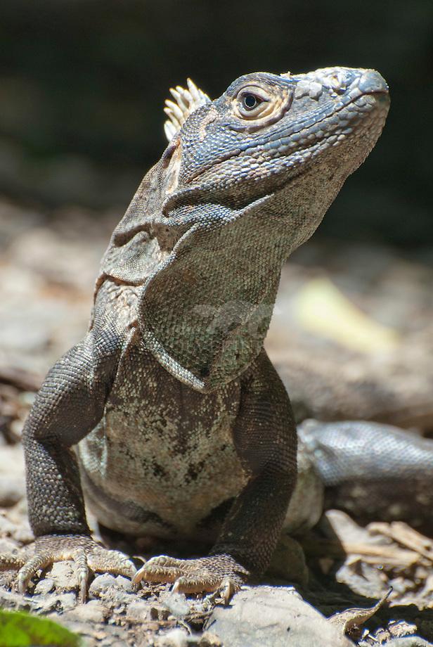 Groene leguaan (Iguana iguana)Groene leguaan (Iguana iguana)Zwarte leguaan (Ctenosaura similis)