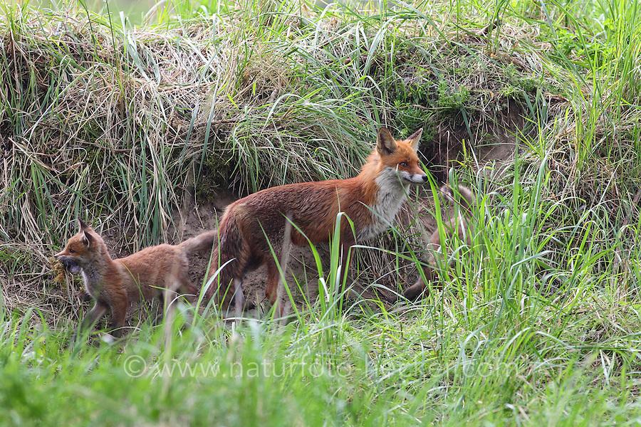 Rotfuchs, Rot-Fuchs, mit Jungfuchs, Jungfüchse, Welpen vor dem Bau, Höhle, Fuchsbau, Fuchs, Vulpes vulpes, red fox, Le Renard roux, Renard commun, Renard rouge