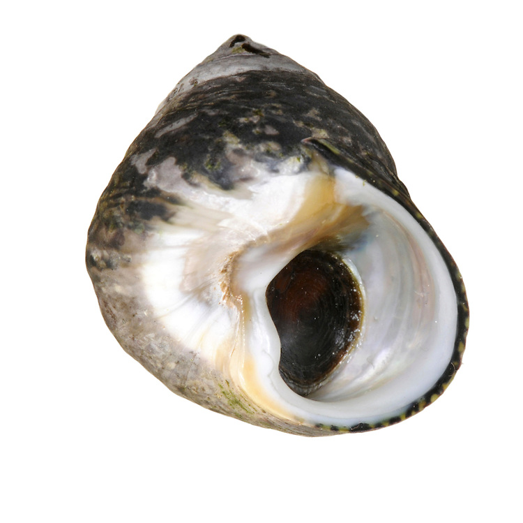 toothed topshell