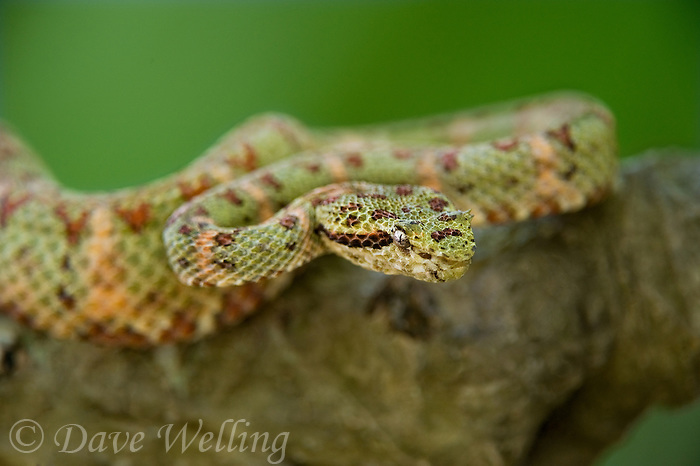 Eyelash Vipers Bothriechis Schlegelii Are Medium Sized Ambush