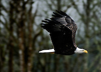 Bald Eagle, Skagit River, Washington.