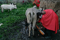 Masai village called Oloiro, just outside the main tourist area.   The people in this village end up drinking the same water that the cows drink.  These families have all donated a cow to a new water system that separates cow drinking water from theirs and they are pulling up sod and putting it into an earthen dam.  Because the NCA is a multi-use area and there are many people looking after conservation, but very few involved with social services, the Maasai are caught in the middle.  Rules are incredibly strict in terms of cultivation, firewood and other basics of a pastoral existence.  There are six main communities in the NCA and only two have wells.  The Maasai in this area generally share their water supply with their animals and survive mostly on milk and porridge. ..The migration is like the wild west before they killed all the buffalo.  1.5 million wildebeest are like a train with 200 cars and each car dumps 20 tons of dung a day.  Fertilizer for the entire ecosystem.  Just the saliva from their mouths is enough to keep the grass hydrated...Contact info:.Peter Jones  347 968 6978 USA Mobile.255 744 293 387 TZ Mobile.His email: jones@habari.co.tz  or Ndarakwai@aol.com.http://www.tanzania-safari.com.www.ndarakwai.com.Phone: (255) 27 2502713 .Fax: (255) 27 2508547 .eFax Number: (1) 646 349 3793 .Mobile Phone: +255 744 333550 .Mail:.Tanganyika Film & Safari Outfitters .P.O. Box 49, Arusha, Tanzania, East Africa.Main Contact for entire trip is:.Jombi Herman  Main Fixer, driver, translator. .PO Box 12280.Arusha Tanzania.jambojombi@yahoo.com.+255 (0) 748 32 68 68..Endulen Guides (from Joe Ole Kuwai).Lepilolli  Ranger in Crater and resident of Endulen.Edward P. Nakuroy  21 yr old with good English.PO Box 42.Ngorogoro Crater.Arusha, Tanzania.parkepunakuroy@yahoo.com..Joe Ole Kuwai (He's Maasai).  His email: joeolekuwai@fzs.org.Joe Ole (255) 28 262 1506 or (255) 28 262 1509  fax 255-28-262-1537.9am is 5pm Tanzania time....Mobile is:  0748 90 32 19.Home is:  (255 28?)