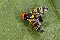 Kirsch-Fruchtfliege, Kirschfruchtfliege, Fruchtfliegen, Rhagoletis cerasi, Rhagoletis signata, Trypeta signata, cherry fruit fly, tephritid fruit fly, Bohrfliegen, Tephritidae, tephritid fruit flies