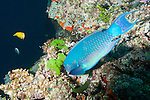 Bligh Waters, Rakiraki, Viti Levu, Fiji; a large, colorful Steephead Parrotfish feeding on the coral reef