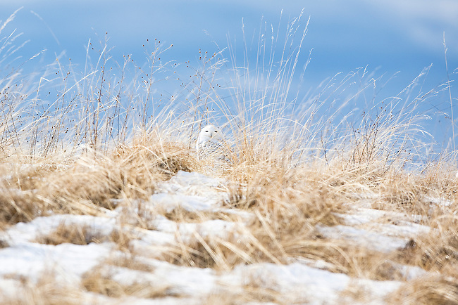 Snowy Owl in a snow covered grass field in western Montana in winter