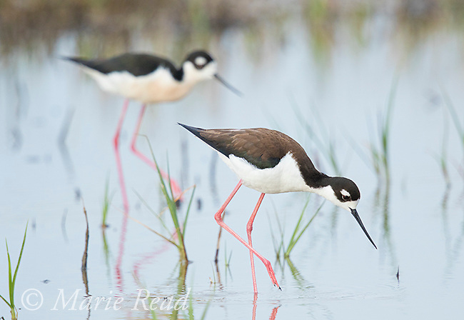 Black-necked Stilt (Himantopus mexicanus) pair walking in wetland, Bear River Migratory Bird Refuge, Utah, USA