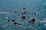 New Zealand, South Island: Dolphins and swimming with dolphins and Dolphin Watch  Ecotour snorkeling in Marlborough Sounds near Picton. Photo copyright Lee Foster. Photo # newzealand125255