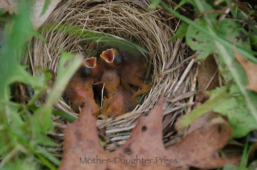 Field sparrow next in community garden, Maine, USA