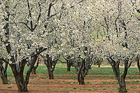 731350095 apple orchard in bloom at capitol reef national park utah