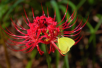 Male cloudless sulphur seen at Wakulla Springs in northern Florida on an exotic red spider lily.