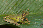 Fringe-Limbed Treefrog (Hyla tuberculosa) in Peruvian Amazon
