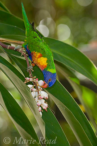 Rainbow Lorikeet (Trichoglossus haematodus) feeding on nectar from flowering palm, captive, Port Douglas, Queensland, Australia