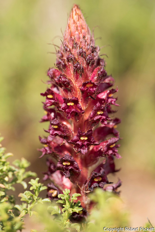 Broomrape, Orobanche foetida, near Carvoeiro town, Algarve, Portugal, parasitic on various members of the Pea family Fabaceae