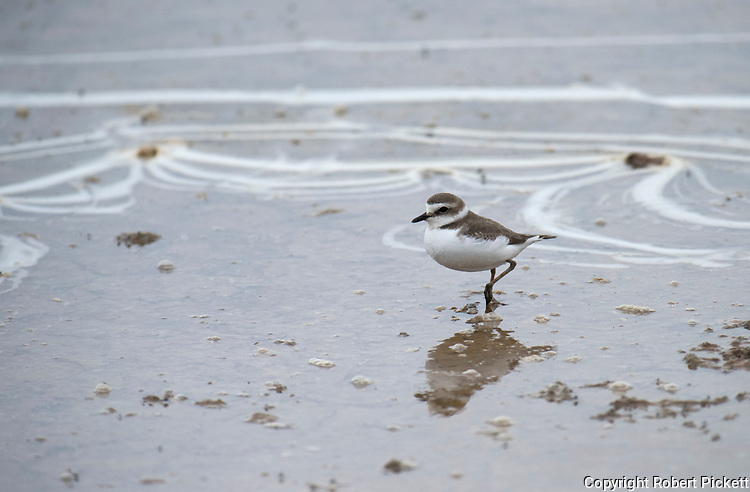 Little Ringed Plover, Juvenile, Charadrius dubius, Salt Pans, Ria Formosa East, Algarve, Portugal, wading at waters edge