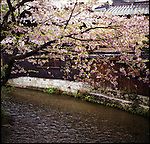 Cherry blossoms in a river.