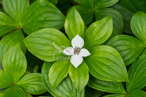 Bunchberry, ground dogwood or dwarf dogwood (Cornus unalaschkensis).  Pacific Northwest.