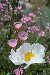 Matilija poppy, Romneya coulteri, and ruby chalice clarkia, Clarkia rubicunda. Native to dry washes and canyons of Southern California; photographed at the Botanical Garden, University of California, Berkeley