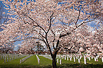 Cherry blossoms create a beautiful respite in the Arlington National Cemetery, Arlington, VA, USA