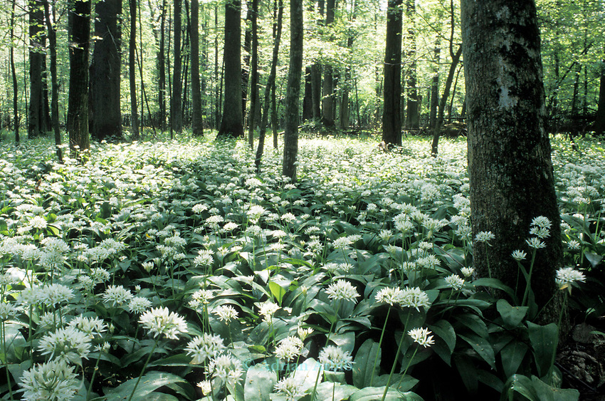 Wild Garlic in Bialowieza forest in eastern Poland.