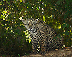 Jaguar in the wild sitting on haunches looking straight at the viewer with intensity. Photo taken in the Pantanal area of Brazil where personnel from Southwild Jaguar Camp record and track the jaguars through photographic means. They named this jaguar Butterfly because of the butterfly-shaped marking above her eyes.