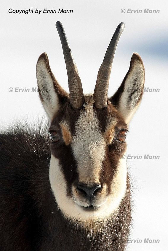 Portrait of a chamois buck