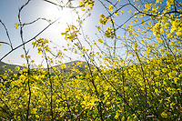 Mustard Plant on the Hills of San Luis Obispo