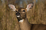 Close-up of white-tailed deer(Odocoileus virginianus) doe.  Fall.  Winter, WI.