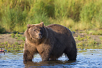 Brown bear, Katmai National Park, southwest, Alaska.