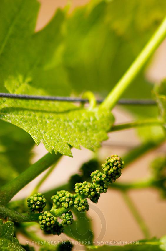 Grape buds. Sauvignon Blanc. Domaine Henri Bourgeois, Chavignol, Sancerre, Loire, France