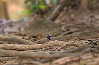 A male Siberian Blue Robin (Luscinia cyane) foraging at dusk. (Cambodia)