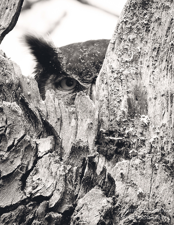Gift card photo (set of 4) of a Great Horned Owl ( Bubo virginianus) adult is peaking through cutout in tree hallow staring with one eye at viewer as it sits on it's nest in the Ridgefield National Wildlife Refuge in this black and white rendering.