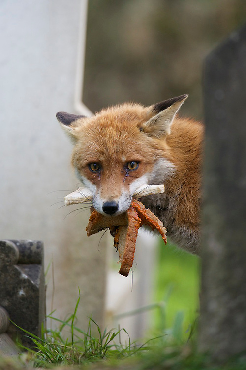 An urban living Red fox (Vulpes vulpes) with lunch