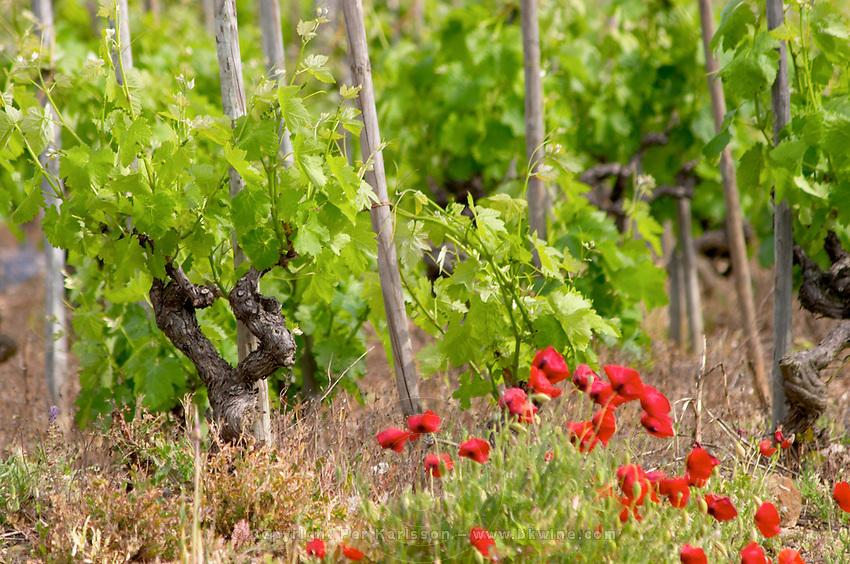 syrah gobelet training vineyard cornas rhone france