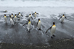 King penguins leave the ocean at Gold Harbour on South Georgia Island.