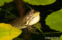 0612-0908  Northern Green Frog in Pond with Vocal Sac Inflated Calling for Mate, Lithobates clamitans, formerly Rana clamitans  © David Kuhn/Dwight Kuhn Photography