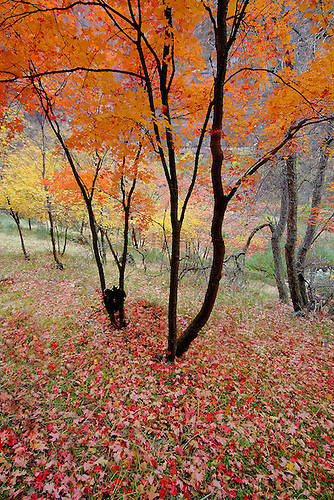 Fall has arrived at Zion National Park,Utah