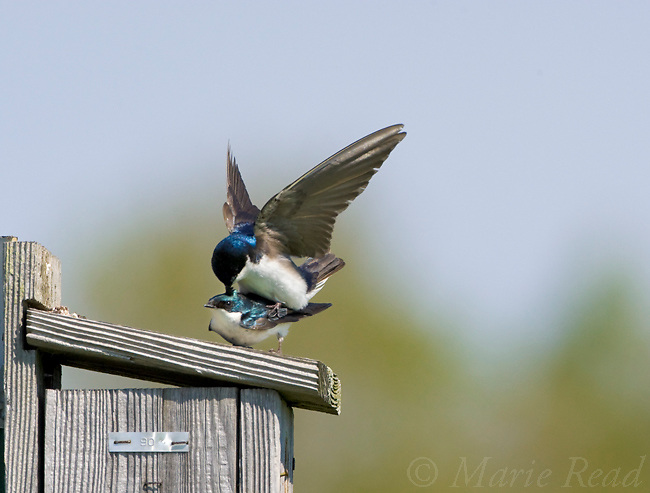 Tree Swallows (Tachycineta bicolor) pair copulating on their nestbox, New York, USA