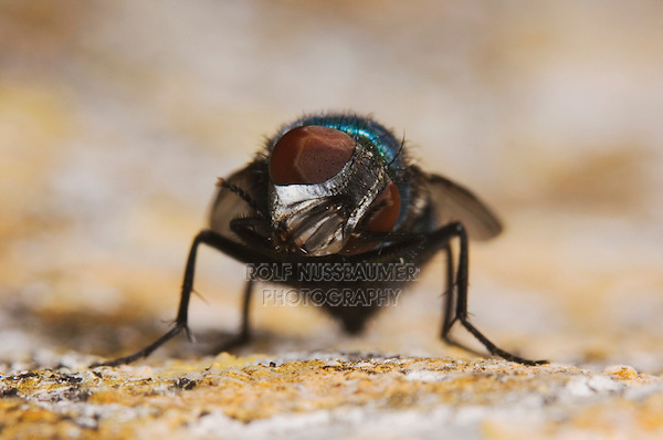 Green Bottle Fly, Phaenicia sericata, adult, Uvalde County, Hill Country, Texas, USA, April 2006