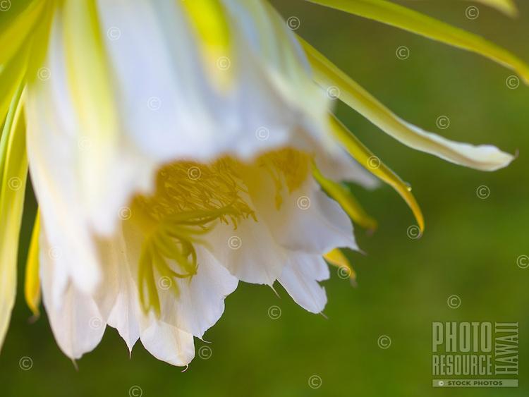 A close-up of a dragon fruit flower, Kailua-Kona, Big Island.