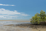 Cooya Beach, Port Douglas, Australia; established mangroves growing along the shoreline at low tide