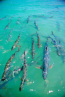 tarpons, .Megalops atlanticus, .Islamorada, Florida Keys National .Marine Sanctuary (Atlantic).