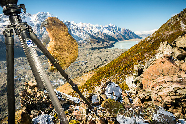 Mischievous alpine parrots Keas on Ball Ridge with Tasman Glacier  lake in background, Mt. Cook National Park, World Heritage, Mackenzie Country, South Island, New Zealand