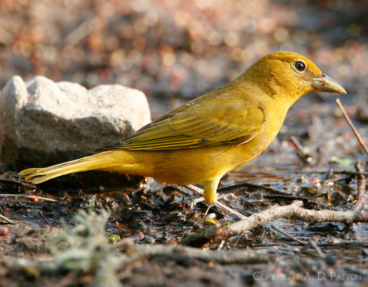 Adult female summer tanager
