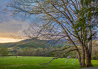 Great Smoky Mountains National Park, TN/NC: Sunset light on dogwood tree blooming between two white oak trees in Cades Cove in early spring