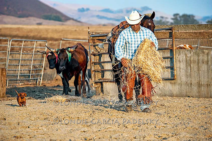 Ron Garcia and his little daschund ranch dog, feeding the roping steers. San Luis Obispo, California<br /> (a lot of the modern day cowboys have mini ranch dogs)