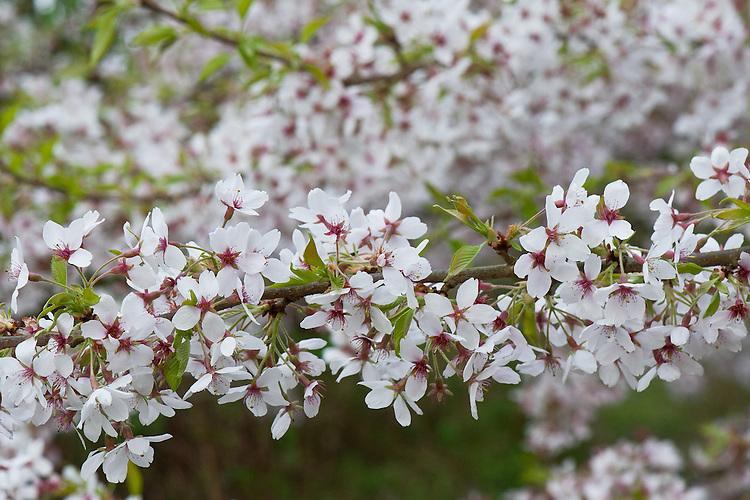 Yoshino cherry blossom (Prunus x yedoensis 'Tsubame'), early April.