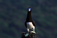 Brown Booby, Christmas Island, Indian Ocean