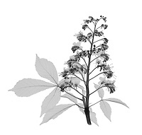 An X-ray of a Chestnut tree flower and leaf.