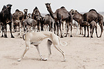 A Sloughi (Arabian greyhound) herds a group of dromedaries (camels) in the desert of Morocco.