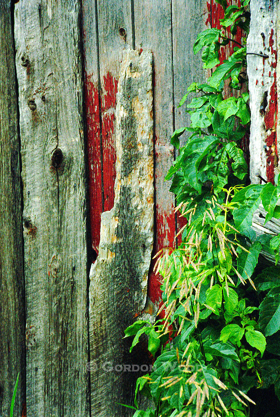 Weeds growing over weathered barnboard